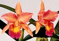 Cattleya 'Barbara Belle' - in Hydrokultur