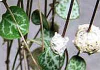 Ceropegia woodii Schltr.