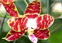 Phalaenopsis ′Brother Ambo Passion′